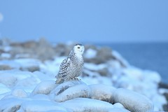 Snowy on the rocks. (Rob E Twoo) Tags: