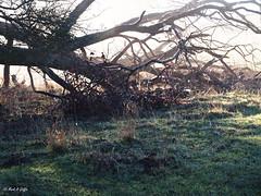 Fallen treetop (mark.griffin52) Tags: sunlight olympusem5 england hertfordshire beaconhill countryside beech fallentree tree