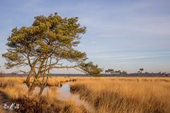 Fields of Gold (Kalmthoutse heide, Belgium) (Renate van den Boom) Tags: 02febuari 2019 belgië boom europa jaar kalmthoutseheide landschap maand natuur renatevandenboom ven