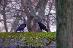 133 - Paris - Février 2019 - cimetière de Montmartre (paspog) Tags: paris france corbeaux février february februar 2019 cemetery cimetière friedhof cimetièredemontmartre montmartre corbeau raven crow ravens crows
