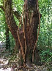 Montagne d'Ambre National Park / Национальный заповедник Монтань д'Амбр (dmilokt) Tags: природа nature пейзаж landscape лес forest дерево tree парк park сад garden dmilokt