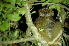Woolly Lemur Mother and Baby At Night (Susan Roehl) Tags: madagascar2019 islandofmadagascar offtheeastcoastofafrica palmariumreserve woollylemur strepsirrhineprimates endemic 600to1200grams 30to50centimeterslong shortfur woolly curly humidforests dryforests inleafycopse leafeater takelongnaps groupsoftwotofive herbivorous buds flowers gestation4to5mths birthinseptember lifeexpectancynotknown sueroehl photographictours naturalexposures lumicdmcgh4 100x400mmlens handheld cropped tree leaves coth5