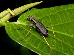 Odontocheila cayennensis ochreata (Eerika Schulz) Tags: tiger beetle laufkäfer käfer ecuador puyo eerika schulz odontocheila cayennensis ochreata omar tello