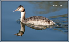 Grebe (maryimackins) Tags: grebe wild life kent mary mackins