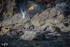 Shetland, St. Ninian's beach (May 2018) (Renate van den Boom) Tags: 05mei 2018 europa grootbrittannië jaar maand mainland renatevandenboom shetland visdief vogels