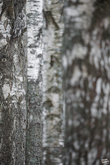 Camouflage (Stefan Gerrits aka vanbikkel) Tags: finland helsinki canon5dmarkiii canonef500mmf4liiusm nature wildlife vanbikkel bird birds uil pöllö laplanduil greatgreyowl greyowl lapinpöllö strixnebulosa silverbirch betulapendula birch berk koivu