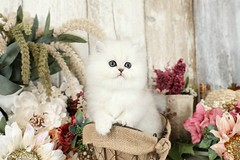 Happy Wednesday! (dollfacepersiankittens.com) Tags: persian kittens for sale doll face cattery dollface reviews recommendations photos pictures cats catsofinstagram ilovecats kittensofinstagram kitten kitty teacup