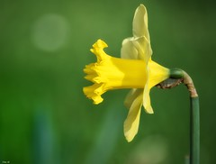 Daffodil.. the national flower of Wales! (Nina_Ali) Tags: yellow flower daffodil nature flora green nationalflowerofwales