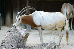 Oryx dammah - Säbelantilope (PictureBotanica) Tags: tiere tier säugetiere antilope säbelantilope oryx