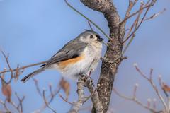 Tufted titmouse (Lynn Tweedie) Tags: wood beak tail wing tuftedtitmouse canon ngc animal blue 7dmarkii missouri bird eye tree eos feathers sigma150600mmf563dgoshsm branch tit
