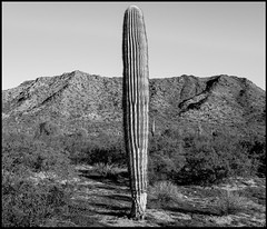 Standing Alone (greenschist) Tags: santanmountainregionalpark desert sonorandesert carnegieagigantea mountains blackwhite arizona saguaro pinalcounty usa cactus