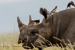 Black Rhino with Oxpeckers (mayekarulhas) Tags: narok riftvalleyprovince kenya ke rhino black oxpecker masaimara mammal canon canon500mm canon1dxmark2
