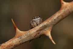 Evarcha arcuata, femelle aux aguets dans un roncier (coteau de Gardères) (G. Pottier) Tags: evarcha evarchaarcuata jumpingspider spider salticidae saltique araignéesauteuse araignée spinne springspinne arañasaltadora araña araneae araneomorphae arachnida d850 occitanie biodiversité hautespyrénées gascogne gascony afsvrmicronikkor105mmf28gifed kenkoautomaticextensiontubesetdg eyes vision yeux arthropoda arthropode œil rubus ronce roncier