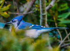 Blue Jay--DSC9707--Port Orford, OR (Lance & Cromwell back from a Road Trip) Tags: birds blue jay wildlife nature portorford currycounty oregon oregoncoast sonyalpha a57 sony tamron tamron150600mmg2 g2 150600mm