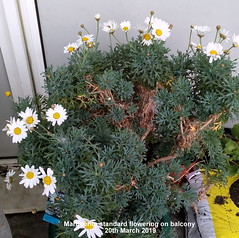 Marguerite standard flowering on balcony 20th March 2019 (D@viD_2.011) Tags: marguerite standard flowering balcony 20th march 2019
