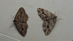 Engrailed (Ectropis crepuscularia) melanic form on the left (Bruce Hurst aka Zincfreud) Tags: lepidopterans lepidotera macromoths entomology geometers moths