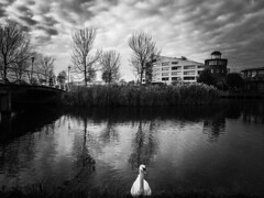 Urban swan (STEHOUWER AND RECIO) Tags: urban swan stads zwaan stadszwaan water bird waterbird watervogel black white blackandwhite bw mood dark duistere sfeer atmosphere dutch trees building tree buildings bridge brug bomen gebouwen reflections reflecties pinhole netherlands nederland barendrecht holland pose lighthouse vuurtoren carnisselande southholland zuidholland monochrome monochroom sony dscrx100 reeds glass window windows lamp lamps lampen ramen riet mono