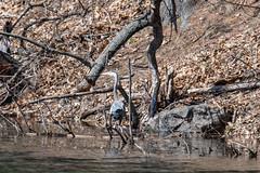 ashleyreservoir2019-1 (gtxjimmy) Tags: nikond7500 nikon d7500 tamron 150600mm newengland holyoke massachusetts watersupply reservoir heron bird greatblueheron