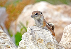 AGS (Monkeystyle3000) Tags: antelope ground squirrel desert animal