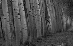 Gli occhi del bosco (lincerosso) Tags: bosco albero tree tronco corteccia pioppobianco bellezza armonia sensidellanatura