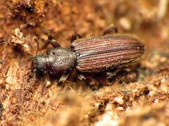 Dry Bark Beetle (treegrow) Tags: rockcreekpark washingtondc nature lifeonearth raynoxdcr250 arthropoda insect glendening maryland beetle coleoptera bothriderescryptus bothrideridae