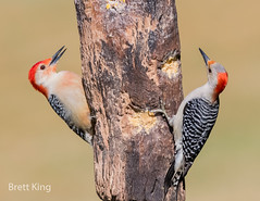 Red Bellies (1 of 1) (dbking2162) Tags: red redbelliedwoodpecker pair female birds bird beautiful beauty nature nationalgeographic indiana woodpecker explore eyes
