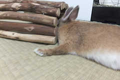 Ichigo san 1526 (Errai 21) Tags: いちごさん ichigo san  ichigo rabbit bunny cute netherlanddwarf pet うさぎ ウサギ いちご ネザーランドドワーフ ペット 小動物 1526
