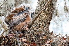 Great Horned Owlet (Let there be light (A.J. McCullough)) Tags: texas texasbirds birds owls owlet brazosbend brazosbendstatepark nesting featheryfriday