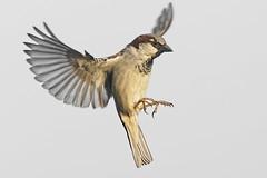 Moineau _DSC1757_DxO (jackez2010) Tags: a77mk2 a77m2 ilca77m2 sal70400g2 bif birdinflight moineau
