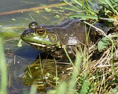 _DSC2575.jpg=Bullfrog (laurie.mccarty) Tags: bullfrog frog pond water grass nature wildlife amphibian