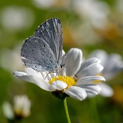 Bläuling (Lycaenidae) (Carsten Weigel) Tags: bläulinge lycaenidae schmetterling butterfly farfalla insekt insect carstenweigel panasonicgx8 olympus60mmf28macro