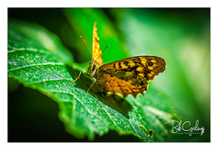 Need a new antenna (Bob Geilings) Tags: macro bokeh flora butterfly antenna colorfull insect nature leaves