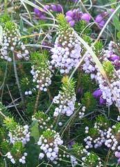 Cornish Heath, a Rare Plant (Marit Buelens) Tags: nature heath heather uk england cornwall lizard thelizardpeninsula rare protected erica ericavagans cornishheath wanderingheath kynancecove heidekruid zwerfheide