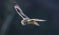 (Rick Thornton Photography) Tags: short eared owl