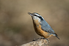 Red-Breasted Nuthatch-45591.jpg (Mully410 * Images) Tags: drinking birdwatching birding nuthatch backyard bird birds birder redbreastednuthatch