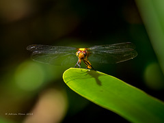 Dragon Fly-1214329 (Life is so Short) Tags: dragonfly fauna