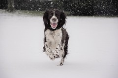 Havane (krisphy) Tags: dog chien chienne animal neige blanc froid
