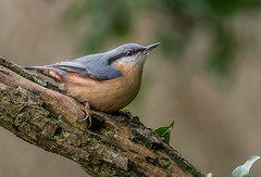DSC5732  Nuthatch.. (Jeff Lack Wildlife&Nature) Tags: nuthatch nuthatches birds avian animal animals wildlife wildbirds woodlands wildlifephotography jefflackphotography woods woodland trees forest forestry gardenbirds songbirds copse countryside hedgerows nature
