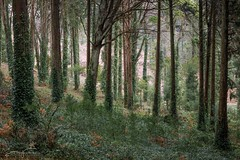 Feel the wind (jorgeverdasca) Tags: cedars wild trees nature woodland forest windy goth sintra portugal