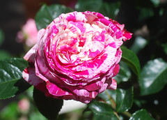 Liebster Erlöser, Wonne der Erlösten (amras_de) Tags: rose rosen ruža rosa ruže rozo roos arrosa ruusut rós rózsa rože rozes rozen roser róza trandafir vrtnica rossläktet gül blüte blume flor cvijet kvet blomst flower floro õis lore kukka fleur bláth virág blóm fiore flos žiedas zieds bloem blome kwiat floare ciuri flouer cvet blomma çiçek