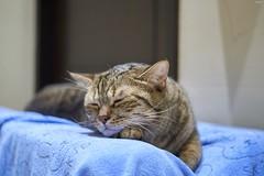 A9__DSC3120_C1 (Bazoka+Cynthia) Tags: delta cat 小婆 新北市 樹林區 貓