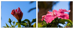 Hibiskus (mohnblume2013) Tags: fuerteventura hibiskus blume makro bokeh pflanze kanaren himmel rosa pink