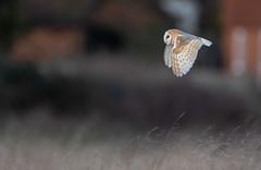 Barn Owl (stu8fish) Tags: barn owl bird tyto alba tytonidae nocturnal dusk dawn feathered heart shaped face prey hunter silent pretty buff white beak tytoalba barnowl stu8fish hunting