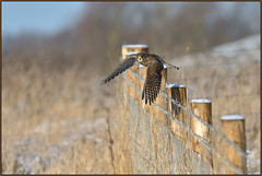 Kestrel (image 2 of 2) (Full Moon Images) Tags: wicken fen burwell nt national trust wildlife nature reserve cambridgeshire bird birdofprey kestrel flight flying
