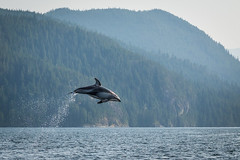 Pacific White Sided Dolphins (Anne McKinnell) Tags: animal britishcolumbia campbellriver dolphin nodaleschannel ocean pacificocean pacificwhitesideddolphin wildlife