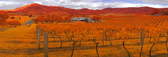 Vineyards in IRchrome (OzzRod) Tags: pentax k5 fullspectrumconversion smcpentaxm40mmf28 ir infrared irchrome stitch panorama vineyards viticulture rural agriculture grapevines mtpleasant huntervalley nsw
