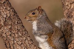 Fox squirrel (Lynn Tweedie) Tags: wood 7dmarkii missouri foxsqurrel tail sigma150600mmf563dgoshsm eye branch tree eos canon ngc animal
