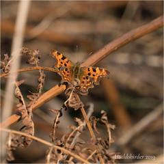 Comma (Huddsbirder) Tags: huddsbirder comma work butterfly fe70300mm sony a6500