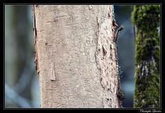 Traces de scolytes (cquintin) Tags: arthropoda coleoptera curculionidae scolytinae