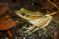 Hylarana erythraea, Red-eared frog - Kaeng Krachan National Park (Rushen!) Tags: hylaranaerythraea kaengkrachan kaengkrachannationalpark redearedfrog amphibia frog thailand rushenbilgin